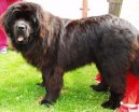 Ньюфаундленд (Newfoundland) / Породы собак / Породы собак: Пинчеры и шнауцеры, молоссы: Уход, советы, бесплатные объявления, форум, болезни