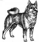 Норвежский бухунд (Norwegian Buhund) / Породы собак / Породы собак: Северные: Уход, советы, бесплатные объявления, форум, болезни