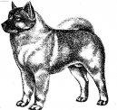 Норвежский эльгхунд (черный) (Norsk Elghund black) / Породы собак / Породы собак: Северные: Уход, советы, бесплатные объявления, форум, болезни