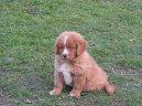 Новошотландский утиный ретривер (Nova Scotia Duck Tolling Retriever) / Породы собак / Породы собак: Охотничие: Уход, советы, бесплатные объявления, форум, болезни