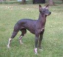 Перуанская голая собака (Peruvian Hairless Dog)