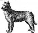 Пикардийская овчарка (Berger de Picardie, Picardy Sheepdog) / Породы собак / Уход, советы, бесплатные объявления, форум, болезни