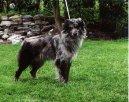 Пиренейская овчарка (гладкошерстная с короткошерстной мордой) (Pyrenean Sheepdog) / Породы собак / Уход, советы, бесплатные объявления, форум, болезни