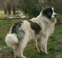 Пиренейский мастиф (Pyrenean Mastiff, Mastin de los Pirineos)