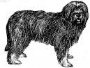 Португальская овчарка (Portuguese sheepdog) / Породы собак / Уход, советы, бесплатные объявления, форум, болезни