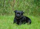 Пти-брабансон (Petit Brabancon) / Породы собак / Породы собак: Декоративные: Уход, советы, бесплатные объявления, форум, болезни
