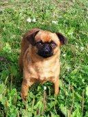 Фотографии к статье: Пти-брабансон (Petit Brabancon) / Советы по уходу и воспитанию породы собак, описание собаки, помощь при болезнях, фотографии, дискусии и форум.