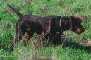 Пудель-пойнтер (Pudelpointer) / Породы собак / Породы собак: Континентальные легавые: Уход, советы, бесплатные объявления, форум, болезни