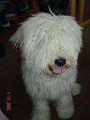 Пули (венгерская водяная собака) (Hungarian Puli)