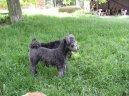 Пуми (Pumi) / Породы собак / Уход, советы, бесплатные объявления, форум, болезни