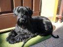 Ризеншнауцер (Riesenschnauzer) / Породы собак / Уход, советы, бесплатные объявления, форум, болезни