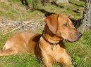 Родезийский риджбек (Rhodesian Ridgeback) / Породы собак / Уход, советы, бесплатные объявления, форум, болезни