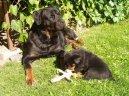 Ротвейлер (Rottweiler) / Породы собак / Уход, советы, бесплатные объявления, форум, болезни