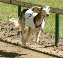 Салюки (персидская борзая) (Arabian Hound, Saluki) / Породы собак / Породы собак: Борзые: Уход, советы, бесплатные объявления, форум, болезни