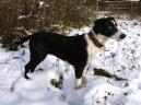 Северные собаки (Northern dog)