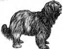Схапендус (шапендуа) (Dutch Schapendoes) / Породы собак / Породы собак: Большого размера: Уход, советы, бесплатные объявления, форум, болезни