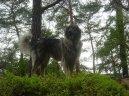 Шарпланинская овчарка (Yugoslav Shepherd Dog)