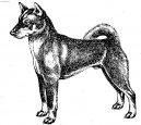 Шикоку (Shikoku) / Породы собак / Породы собак: Шпицы и примитивные породы: Уход, советы, бесплатные объявления, форум, болезни