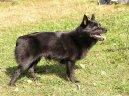 Шипперке (Schipperke) / Породы собак / Породы собак: Маленького размера: Уход, советы, бесплатные объявления, форум, болезни