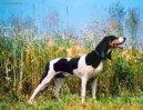 Швейцарские гончие (Schweizer Laufhund - Chien Courant Suisse, Swiss Hound) / Породы собак / Уход, советы, бесплатные объявления, форум, болезни