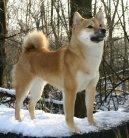 Сиба-ину (Shiba Inu) / Породы собак / Уход, советы, бесплатные объявления, форум, болезни