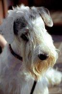 Силихем-терьер (Sealyham Terrier) / Породы собак / Породы собак: Маленького размера: Уход, советы, бесплатные объявления, форум, болезни