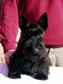 Скотчтерьер (шотландский терьер) (Scottish Terrier) / Породы собак / Породы собак: Терьеры: Уход, советы, бесплатные объявления, форум, болезни