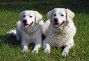 Словацкий чувач (Slovak Cuvac) / Породы собак / Породы собак: Большого размера: Уход, советы, бесплатные объявления, форум, болезни