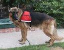 Служебные собаки (Working dog) / Породы собак / Породы собак: Другие породы собаки: Уход, советы, бесплатные объявления, форум, болезни