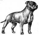 Стаффордширский бультерьер (Staffordshire Bullterrier) / Породы собак / Породы собак: Терьеры: Уход, советы, бесплатные объявления, форум, болезни