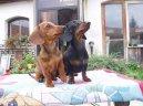 Такса (Dachshund) / Породы собак / Породы собак: Таксы: Уход, советы, бесплатные объявления, форум, болезни