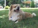 Тибетский спаниель (Tibetan Spaniel) / Породы собак / Уход, советы, бесплатные объявления, форум, болезни