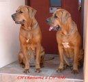Тоса-ину (Tosa Inu, Japanese Fighting Dog) / Породы собак / Уход, советы, бесплатные объявления, форум, болезни