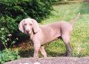 Веймаранер (Веймарская легавая) (Weimaraner, Weimaraner Vorsterhund) / Породы собак / Уход, советы, бесплатные объявления, форум, болезни