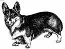 Вельш-корги-пемброк (Welsh Corgi Pembroke) / Породы собак / Породы собак: Маленького размера: Уход, советы, бесплатные объявления, форум, болезни