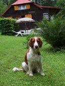Вельш-спрингер-спаниель (Welsh Springer Spaniel) / Породы собак / Уход, советы, бесплатные объявления, форум, болезни