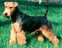 Вельштерьер (Welsh Terrier) / Породы собак / Породы собак: Терьеры: Уход, советы, бесплатные объявления, форум, болезни