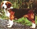 Вестфальский таксообразный бракк (Westphalian Dachsbracke) / Породы собак / Породы собак: Маленького размера: Уход, советы, бесплатные объявления, форум, болезни
