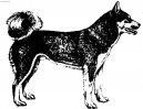 Восточно-сибирская лайка (Laika Vostotchno-Sibirskaia, East Siberian Laika) / Породы собак / Породы собак: Северные: Уход, советы, бесплатные объявления, форум, болезни