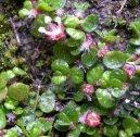 Солейролия солейроля (Soleirolia soleirolii) / Комнатные растения и цветы / Плющи и лианы