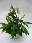 Спатифиллум (Spathiphyllum) / Комнатные растения и цветы