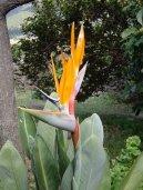 Стрелиция (Strelitzia)