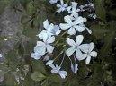 Свинчатка ушковидная (Plumbago auriculata) / Комнатные растения и цветы