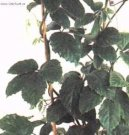 Тетрастигма (дикий виноград) (Tetrastigma) / Комнатные растения и цветы / Плющи и лианы