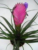 Тилландсия (Tillandsia) / Комнатные растения и цветы