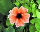 Тунбергия (Thunbergia) / Комнатные растения и цветы