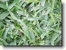 Узкобороздник однобокий (Stenotaphrum secundatum)