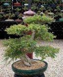 Вяз мелколистный (Ulmus parvifolia) / Комнатные растения и цветы / Бонсаи