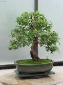 Выращивание и разведение бонсаев (Bonsai)