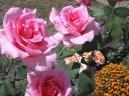 Выращивание и разведение роз (Rosa)